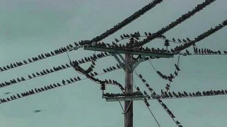 一群迁徙的鸟儿停留在电线上,当它们集体起飞时,高压线瞬间爆炸