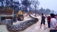 工地挖出巨蟒体型惊人