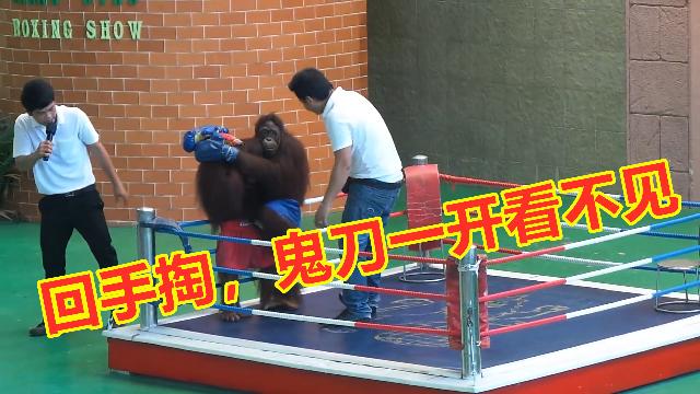 猴子的搏击俱乐部,这种特殊的搏击比赛真的是太搞笑啦!